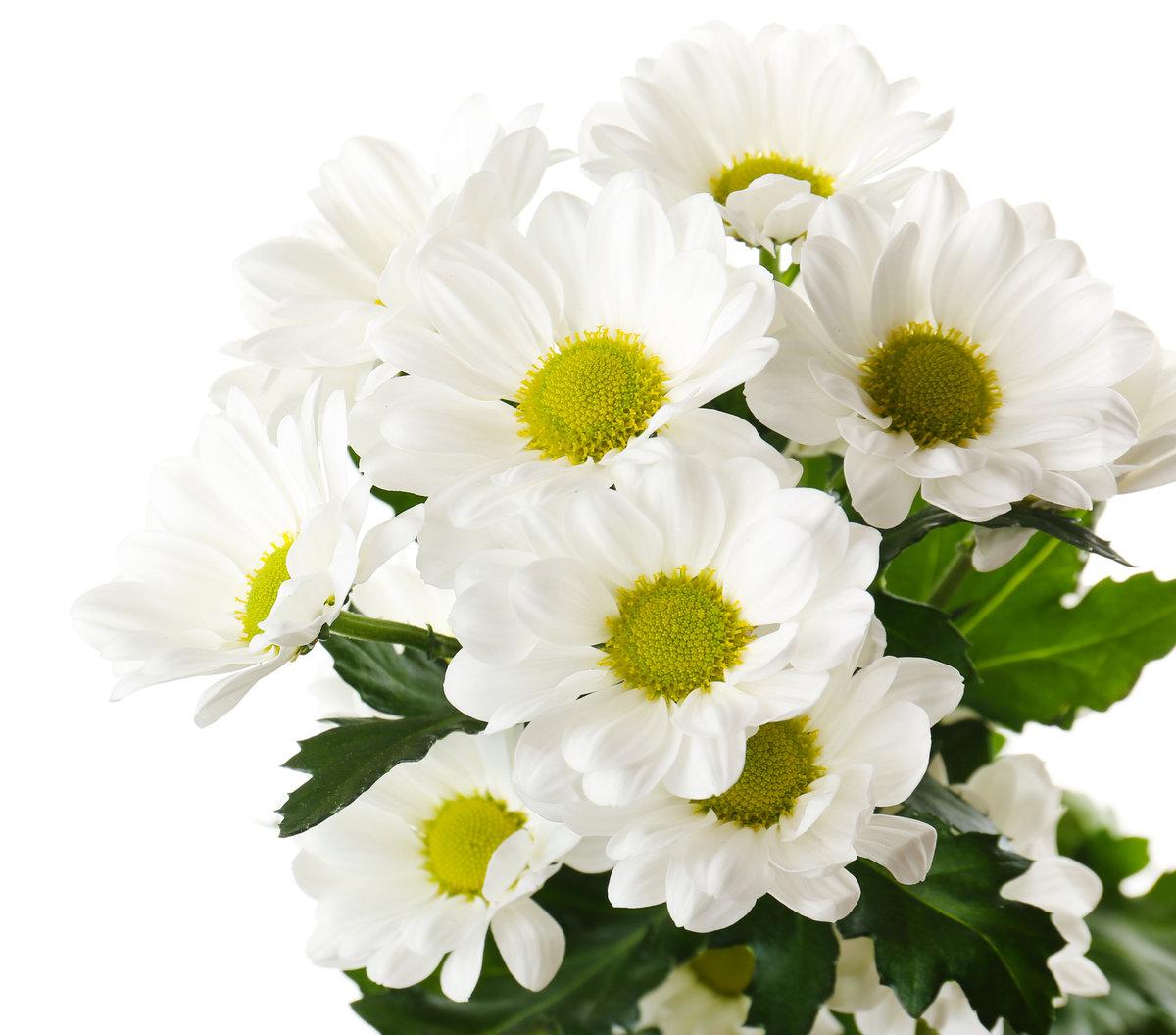 Хризантемы на белом фоне картинки красивые