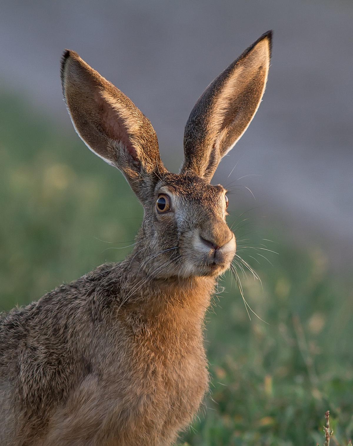картинки ушей животных диких
