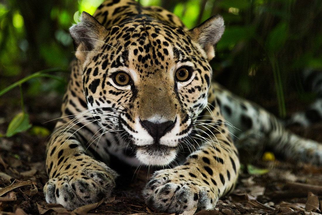 Amazon Jaguar Photos Fun Facts About Jaguars,Amazon Jaguar W