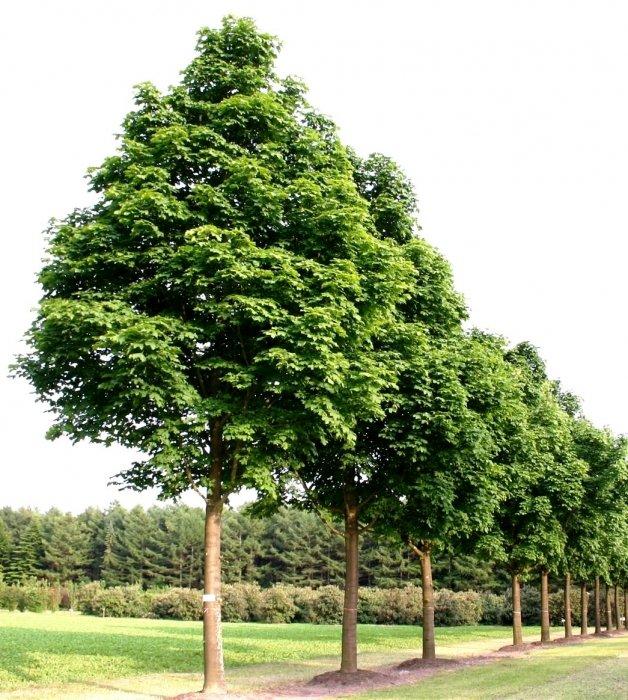 это сумо картинка обычного дерева родители были ленинградцами