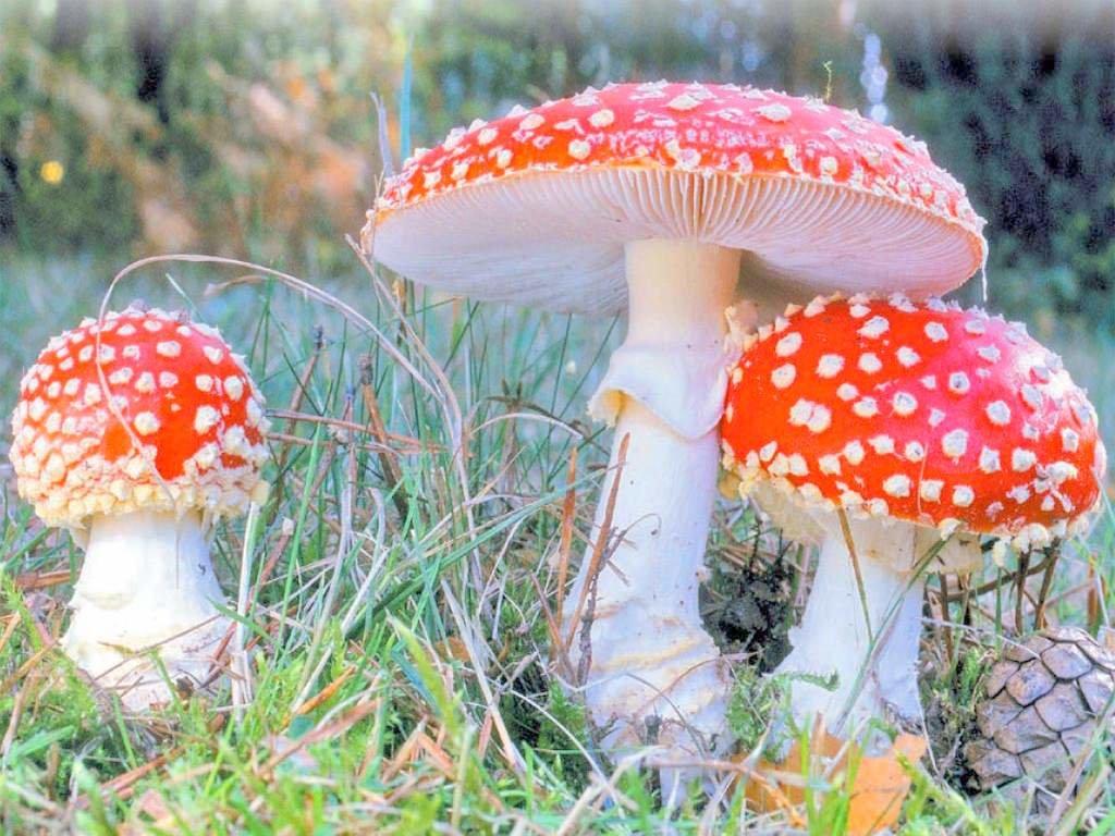 картинка с грибами мухомор белочки столько