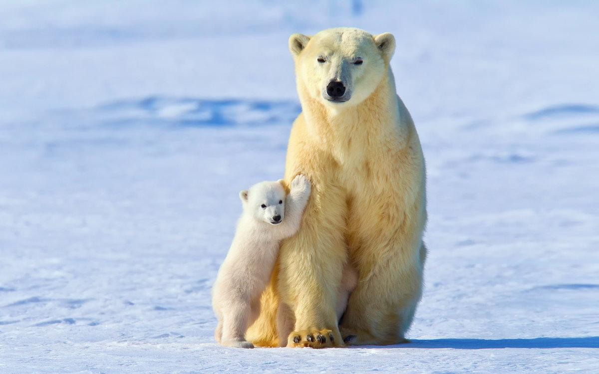 Белая медведица с детенышем