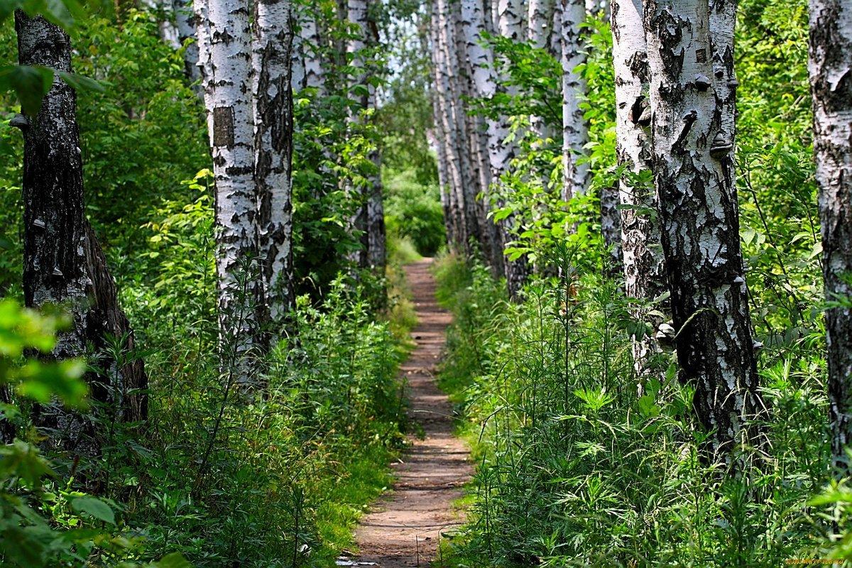 Тему, картинки березовый лес