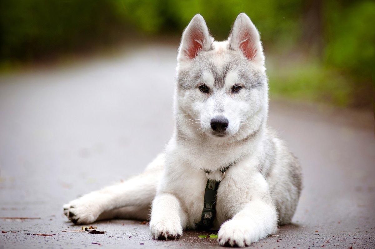 Серебристо-белые собаки – стандарт допускает только Ñолодные тона подшерстка – серебра или белого.