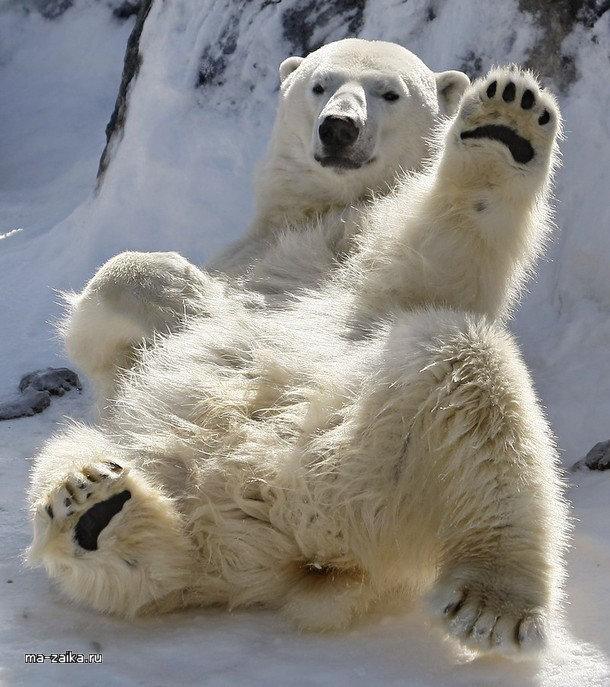 вдруг забавные фото белого медведя для вас очередную