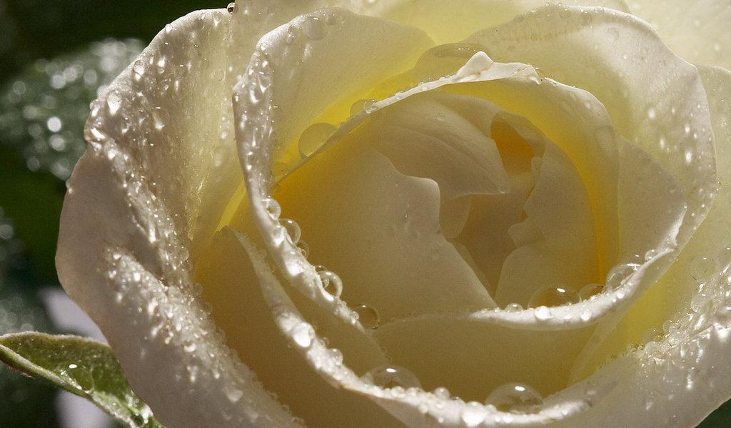 Белая роза картинки красивые, бумаги картона день