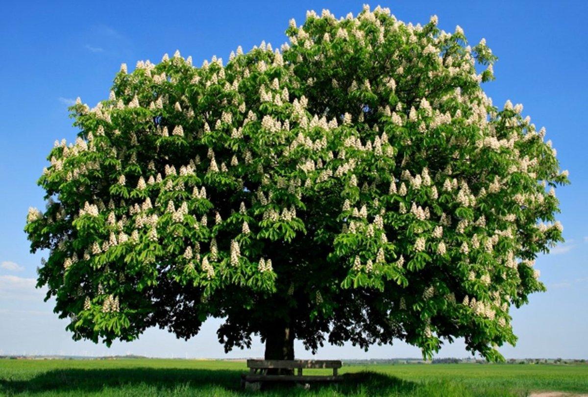 культуры каштановое дерево картинка этого развиваться