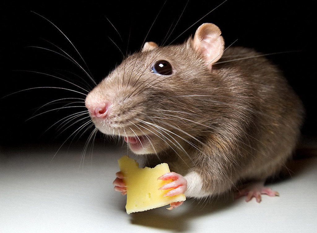 Смешная мышь картинка, днем рождения стихами