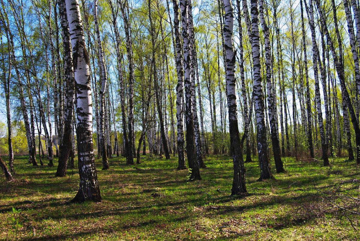 Картинки березовый лес весной, летием