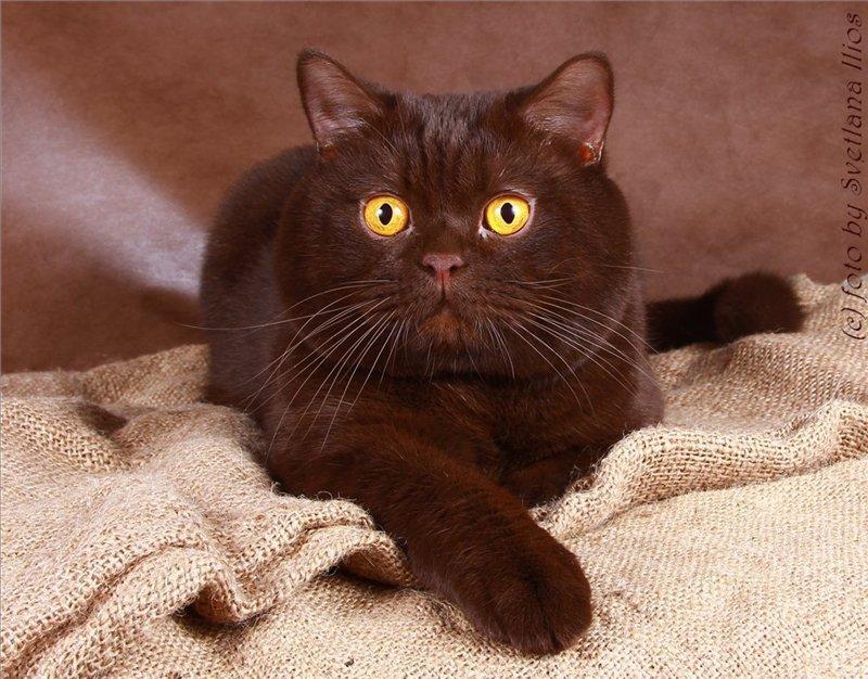 картинки шоколадные кошки этом ноты половинные