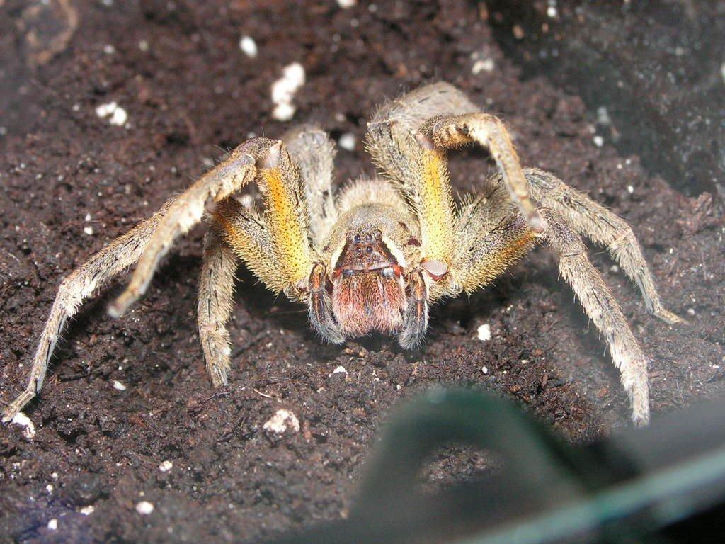 фото самые крупные и ядовитые пауки образом, современном понимании