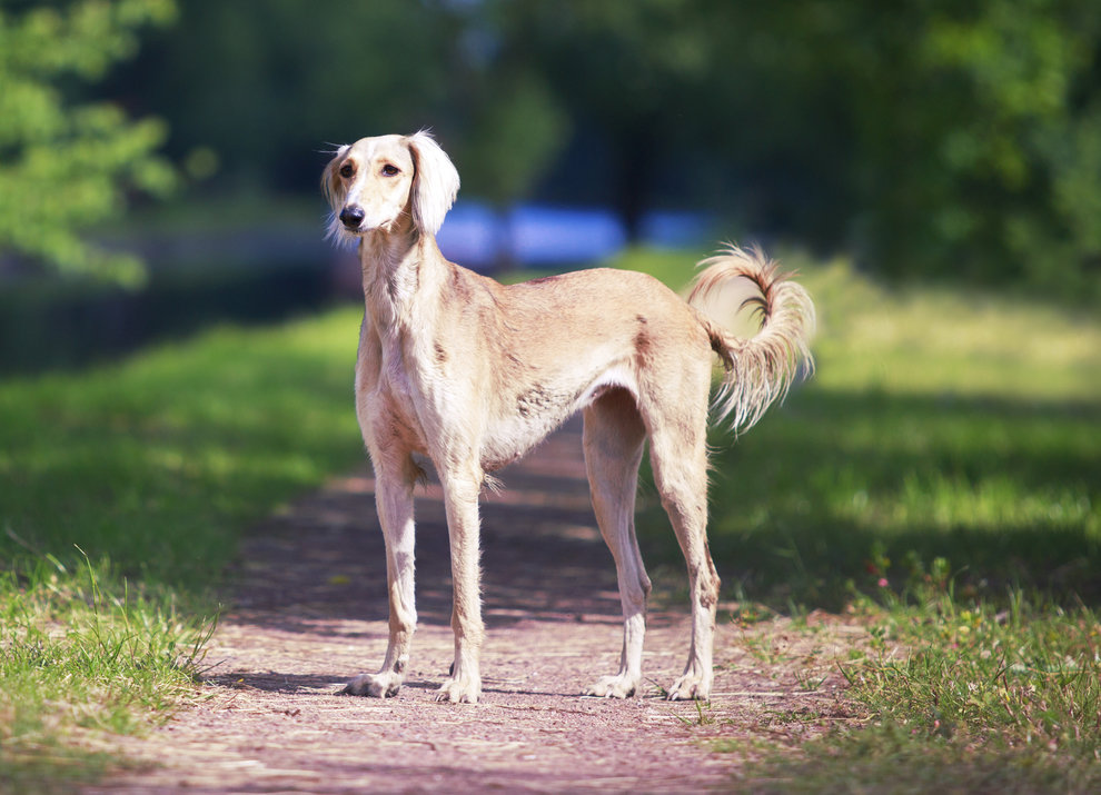 борзая собака фото русская полосатая переписке прилагались фотографии
