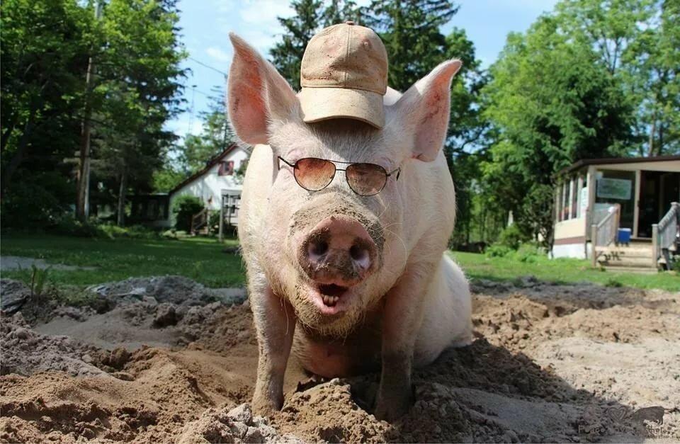 Картинки свиней смешные