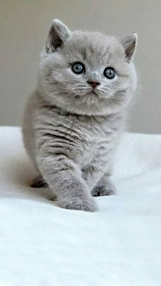 хозяек британские котята фото серые можно увидеть