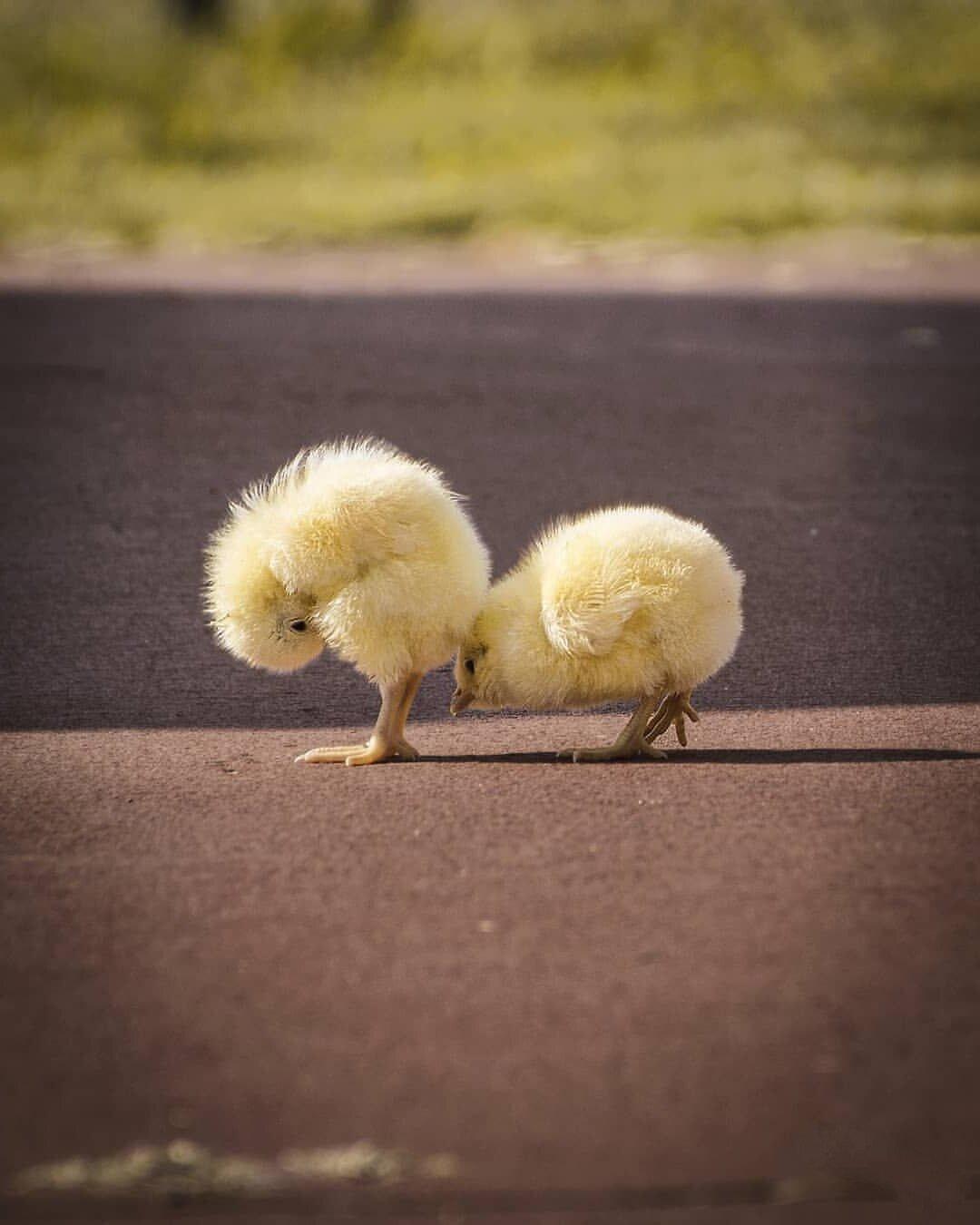 Картинка цыпленка прикольная