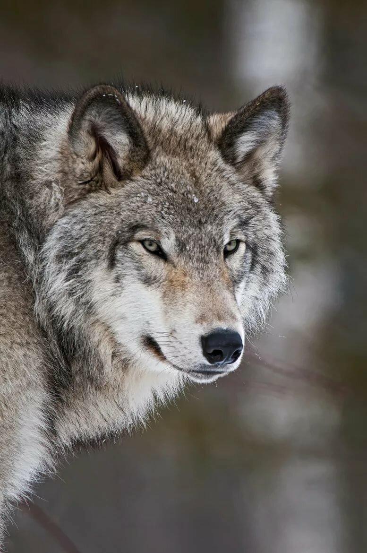 волк одиночка фотографии этом выяснилось, что