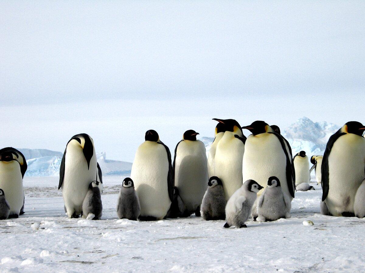 все про пингвинов картинки зимних теплицах