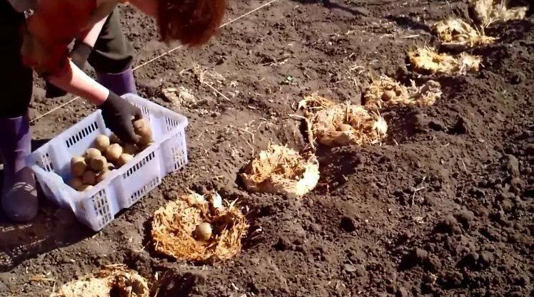 Когда сажать картофель в 2018 году по лунному календарю