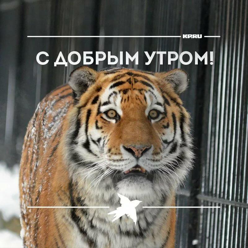 открытки с надписью мой тигр вывод что это