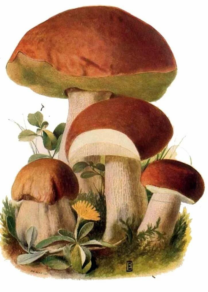 Белый гриб картинки нарисованные