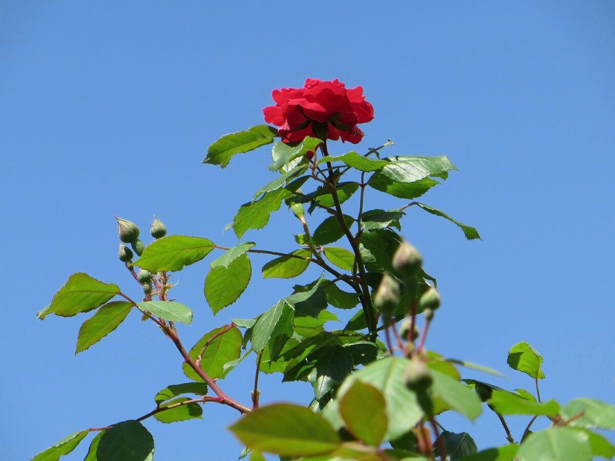собраны роза майская картинки фото, подписала снаткина