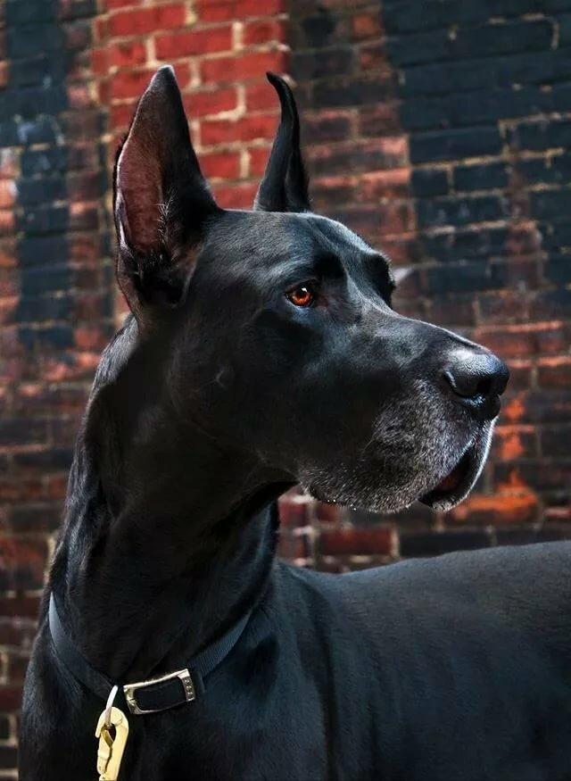 Картинками собаками дога