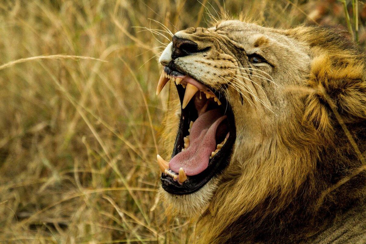 Картинки злости львиц, приколы