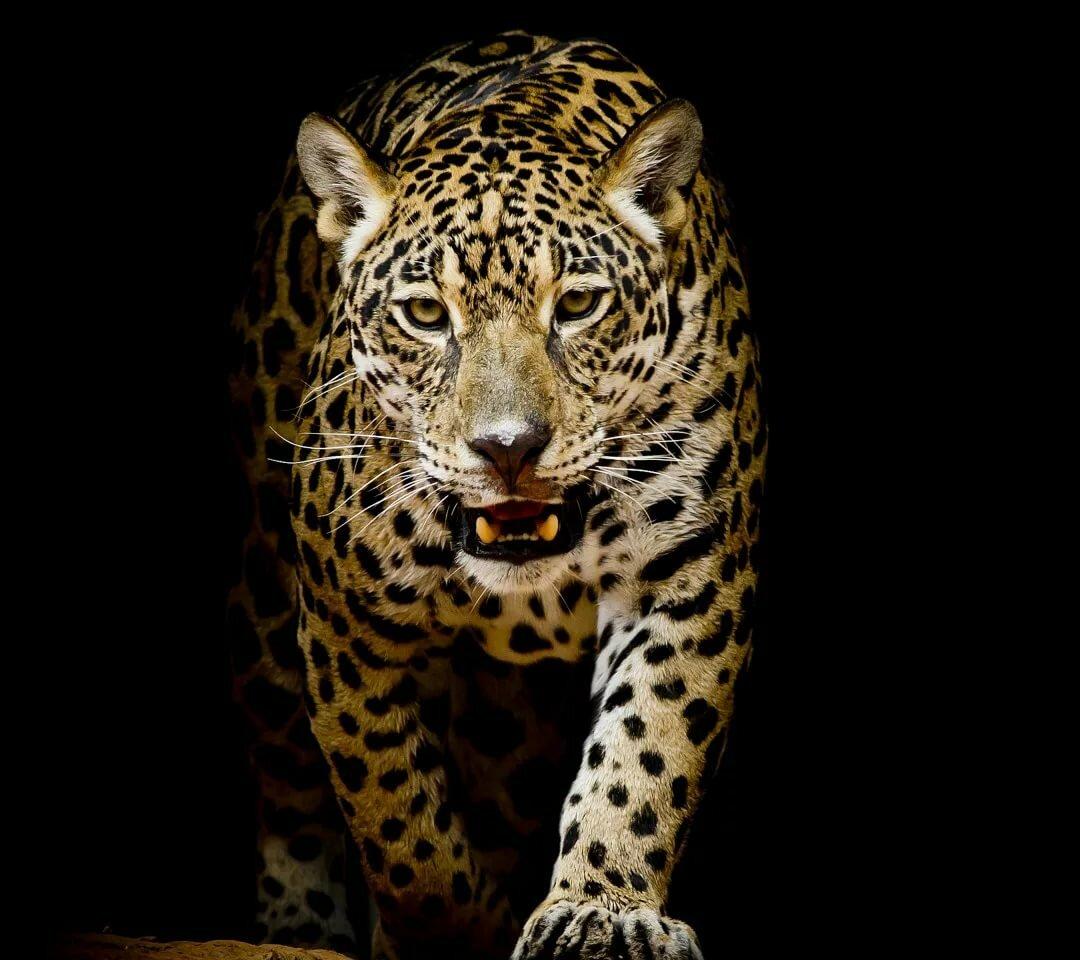 Пятнадцатилетием внучки, картинки с леопардом в высоком разрешении