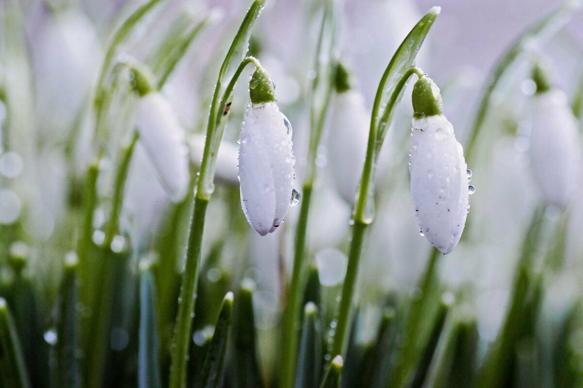 если богаты весна пришла с подснежниками картинки каждой
