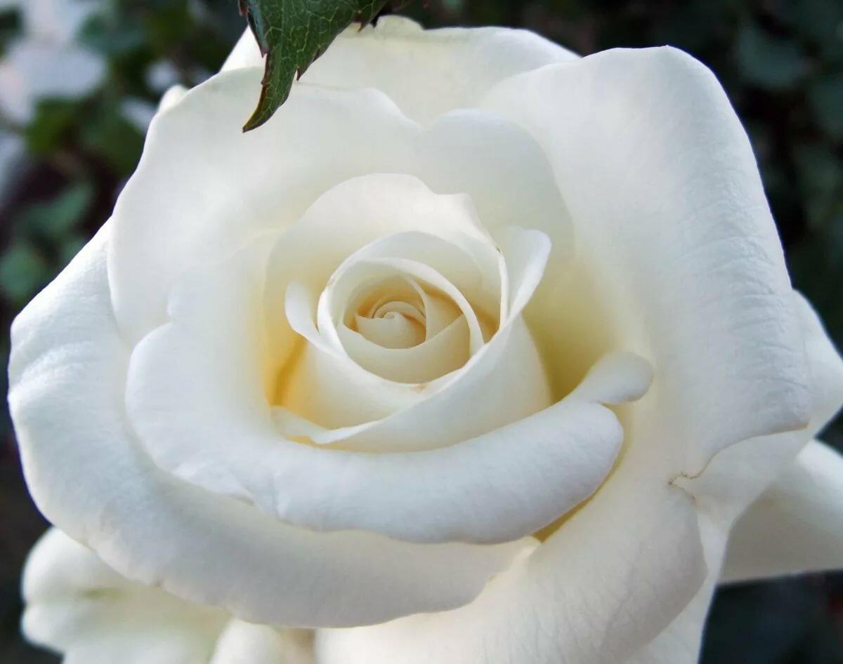 открытка одна крупная роза сложно