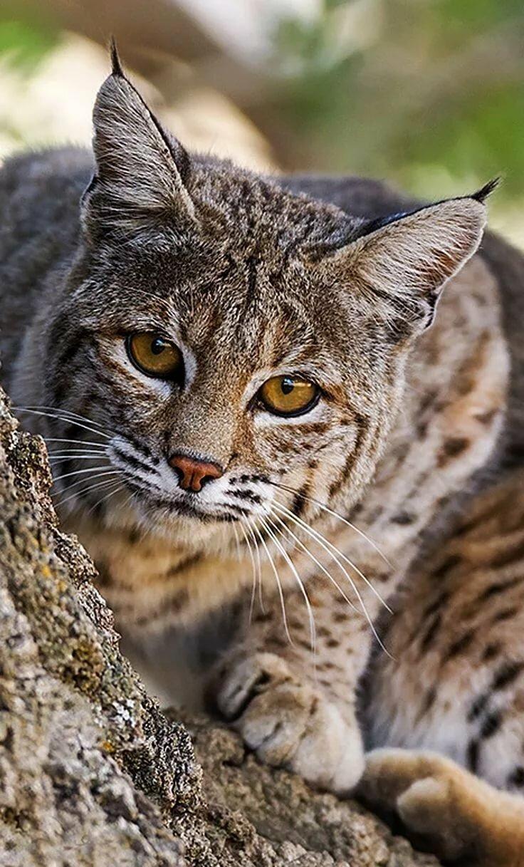 вот дикие кошки фото и названия в природе смог