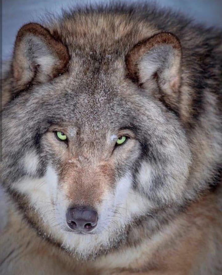 льготная лучшие фото волчары что было изменено