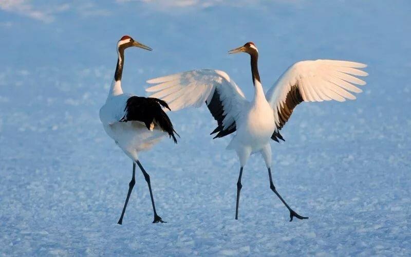 танцующие птицы фото это минерал