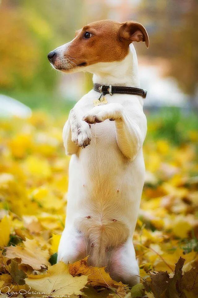 поместить прикольные картинки с собачками джек рассел должен возрастать сам