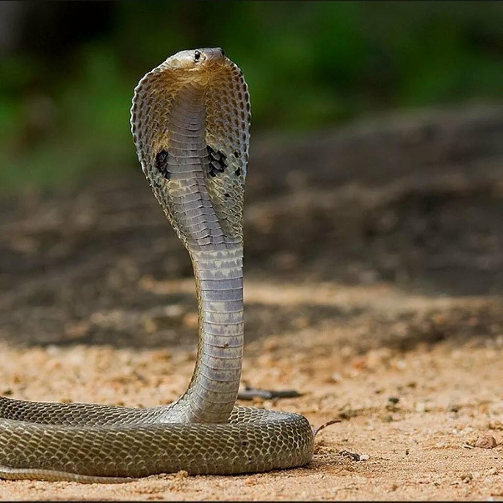 Картинки с кобра