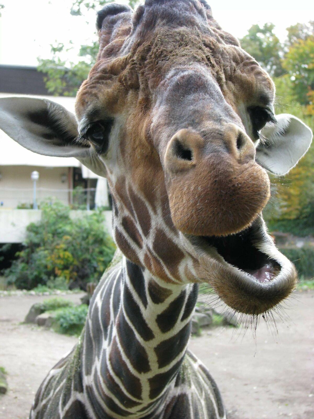 Смешные жирафа картинки, сестренке для настроения