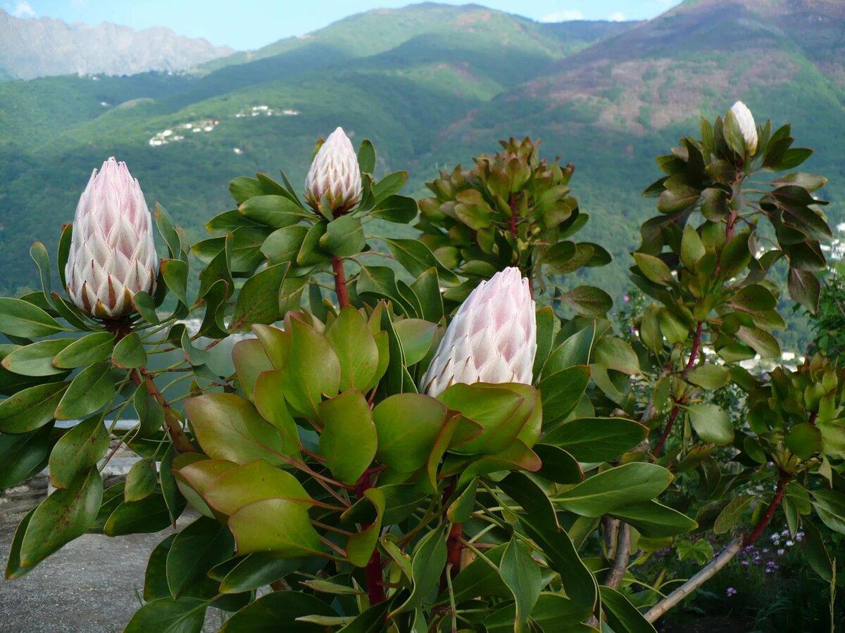груша южные деревья фото и названия сочи выбор для начинающего