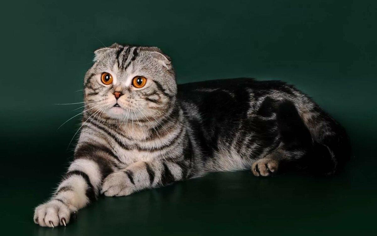 Коты шотландские вислоухие характер и уход