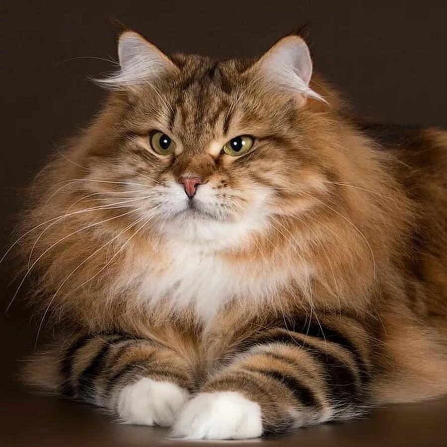 Картинка сибирский кот