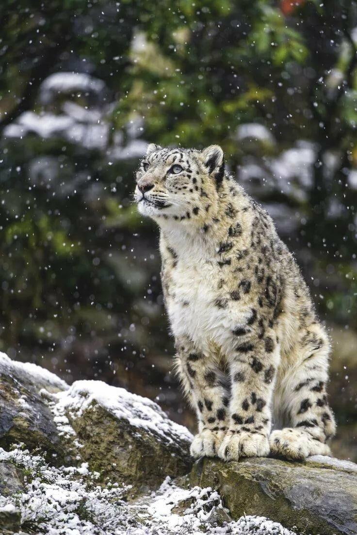 Снежный барс картинки в хорошем качестве