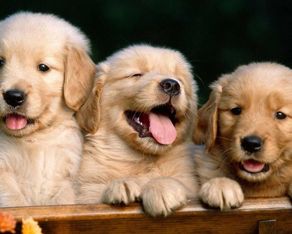 Картинки семья собак