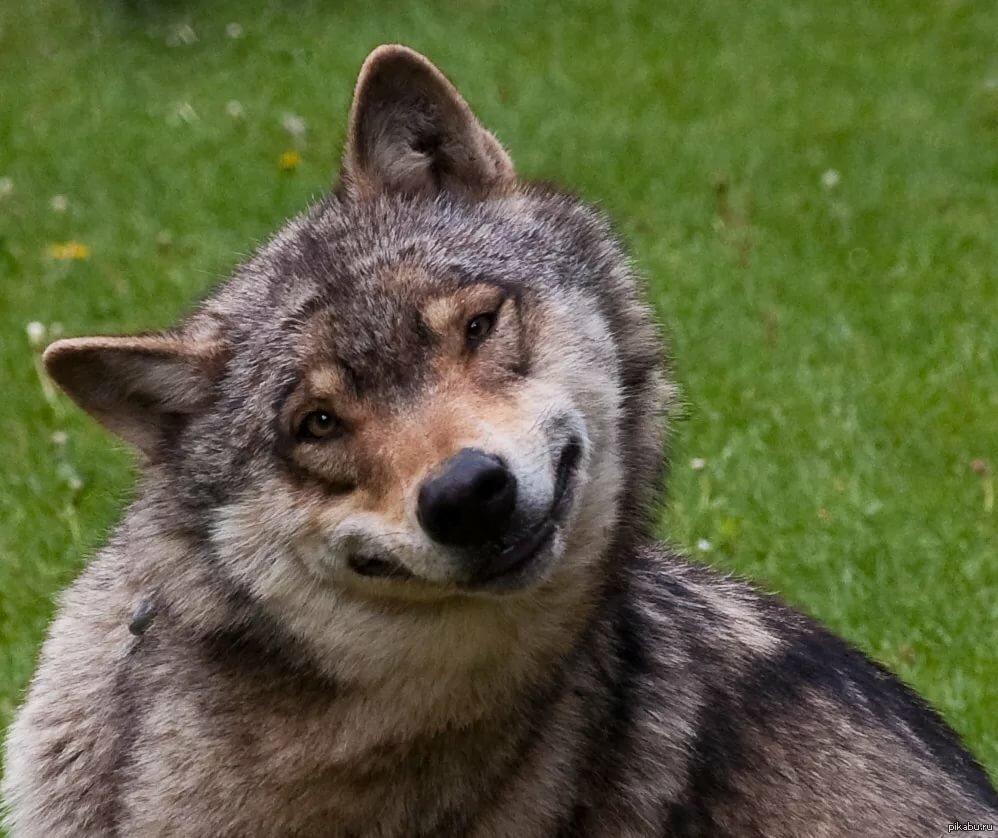 Серый волк фото прикол, открытка для