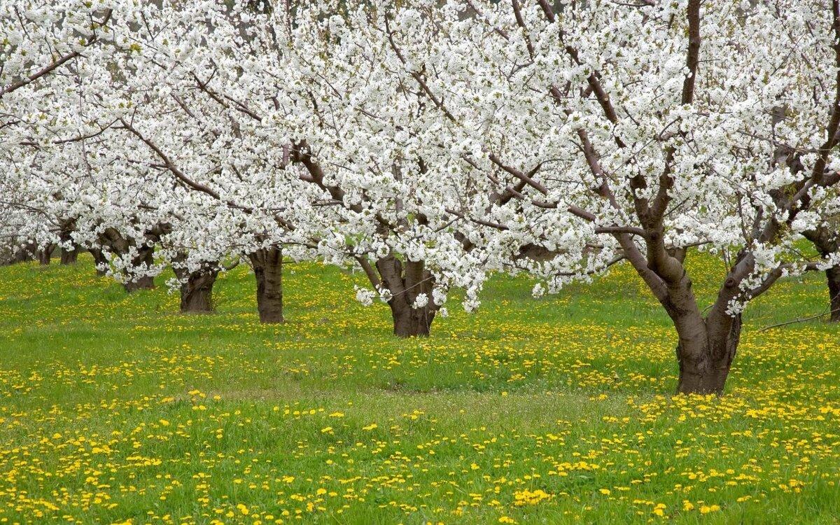 Дерево яблоня в цвету картинки