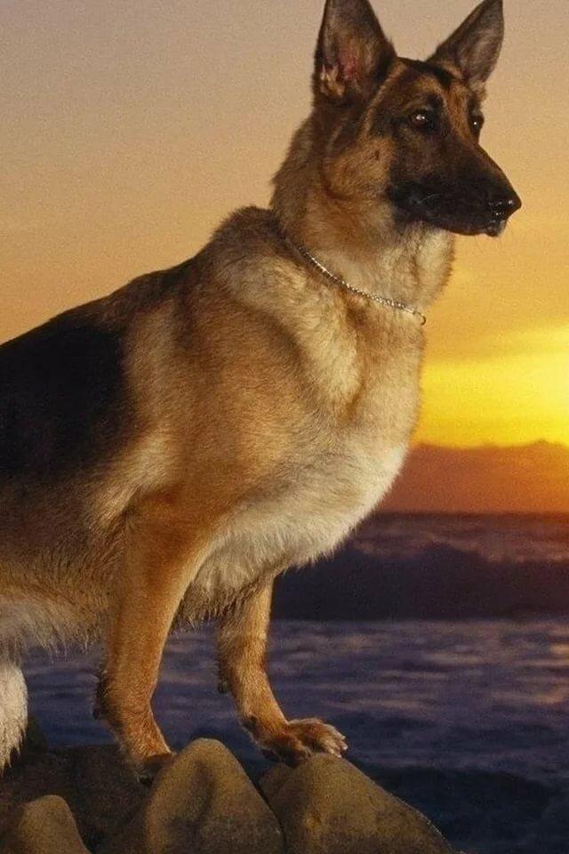 Картинки собаки овчарки спасибо за внимание