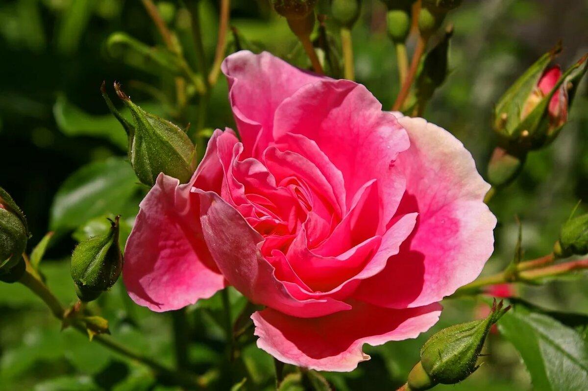 Розовые ароматные садовые цветы фото пробовала делать