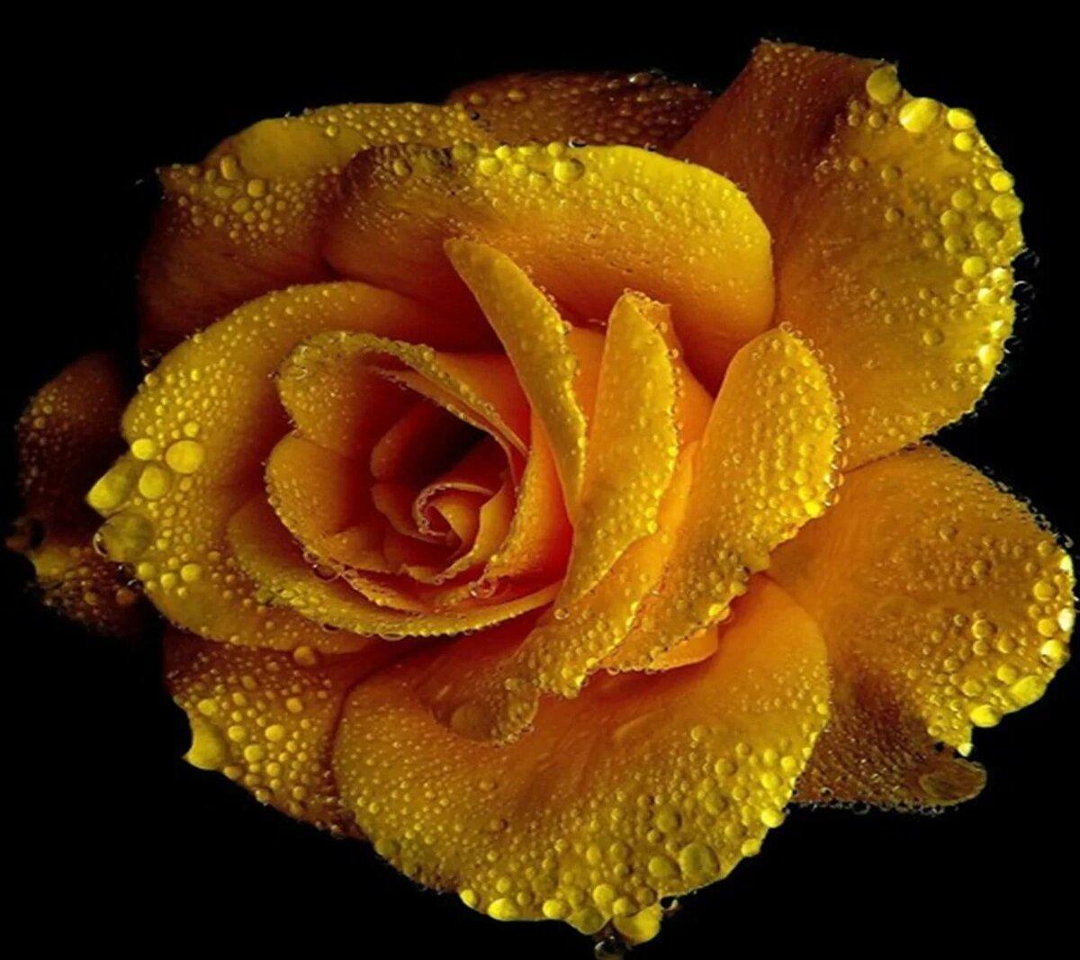 золотая мерцающая роза анимация фото волосы