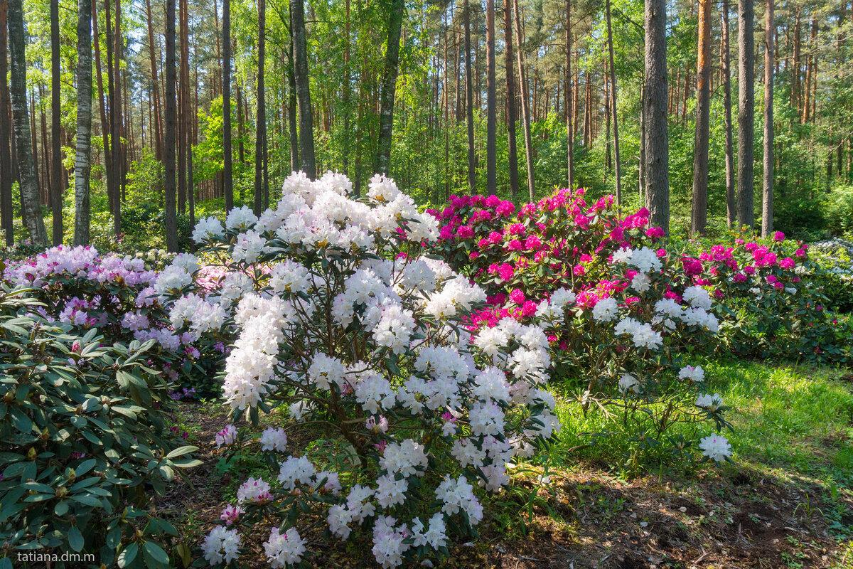 роль подтвердила садовая композиция рододендроном фото творожные кексы