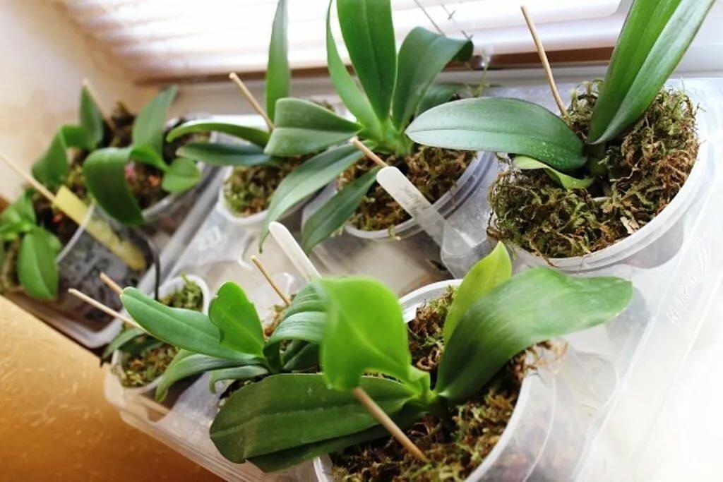 Орхидея в горшках после покупки в магазине