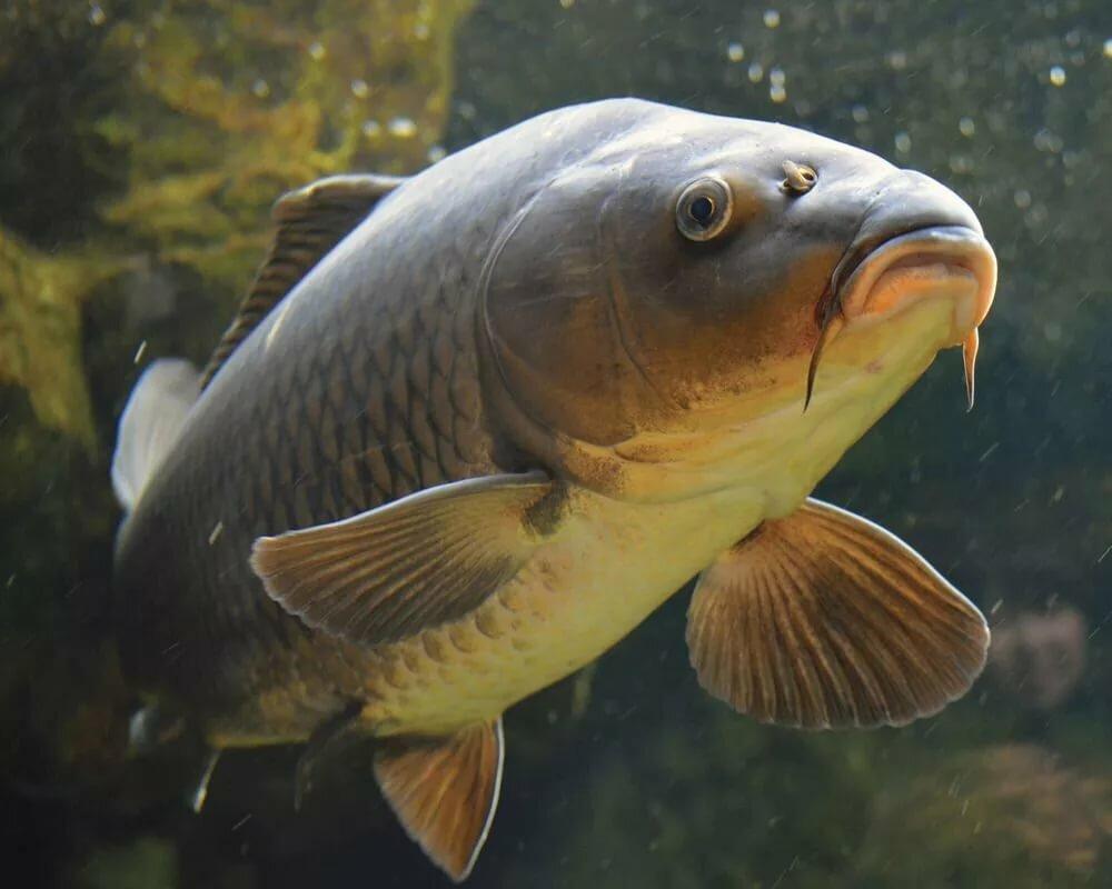 Красивые картинки рыбы карп