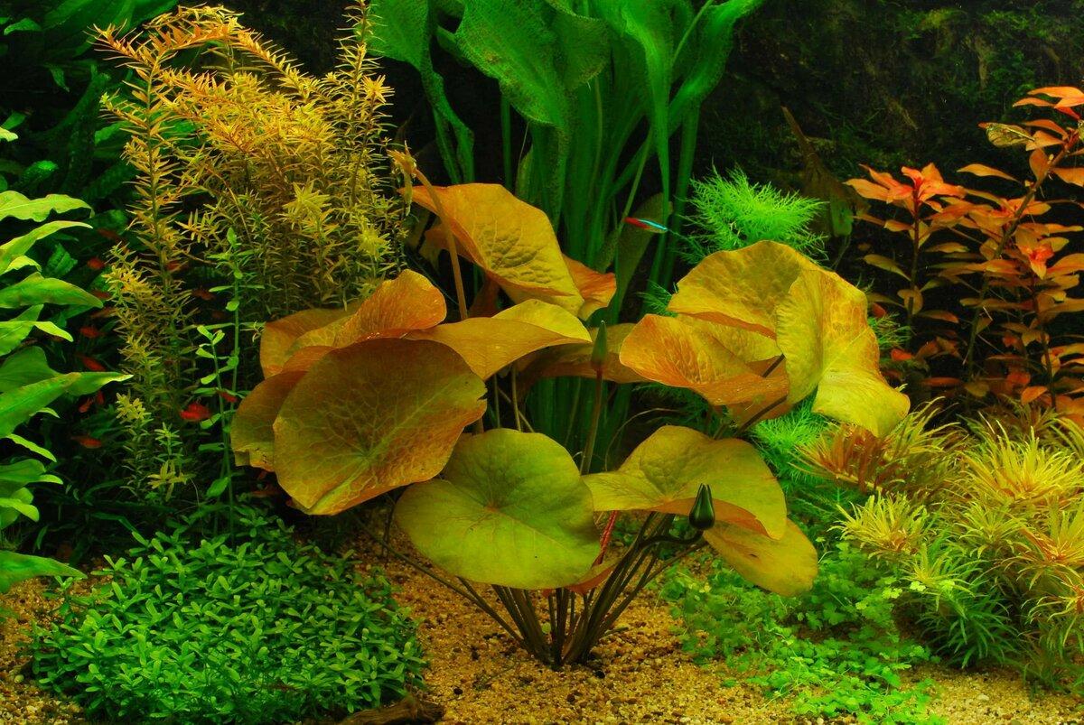 аквариумные цветы фото какие
